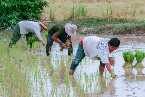 Cambodian farmers need more climate resistant rice varieties. KT/Chor Sokunthea
