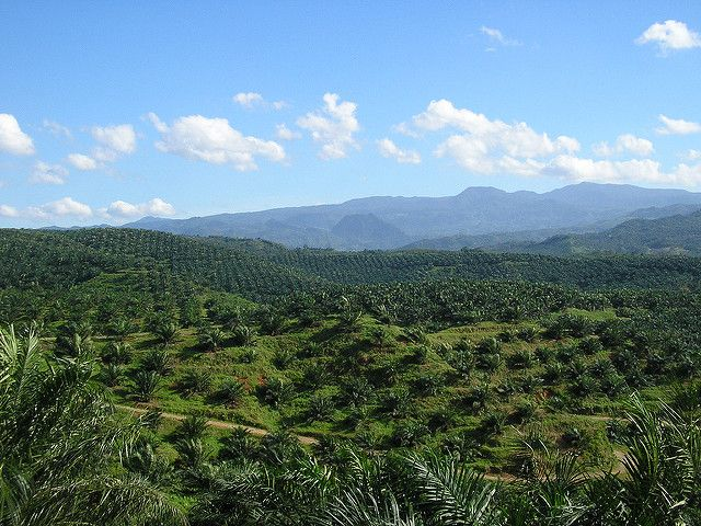 Oil palm plantation in Bogor, Indonesia. Photo by a_rabin/flickr