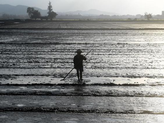 A worker in a paddy field. Man-made dykes are preventing proper nutrients from reaching the rice crop in certain areas of the delta (Getty)