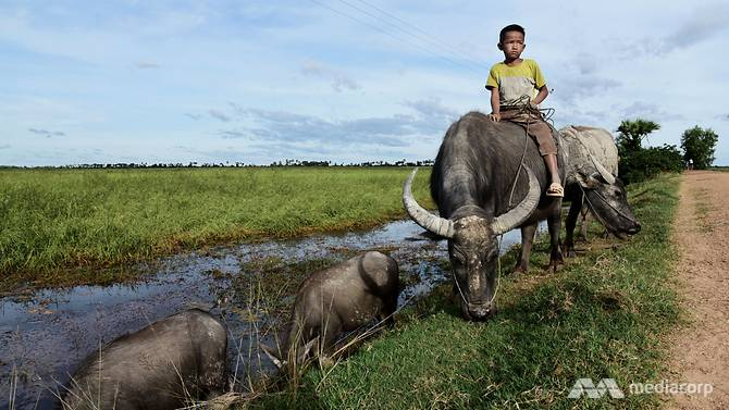 A Cambodian boy rides on a buffalo on his way back from a floating rice field. Once common in the Lower Mekong Basin, this eco-friendly farming method is drifting towards disappearance in the region. (Photo: Pichayada Promchertchoo)