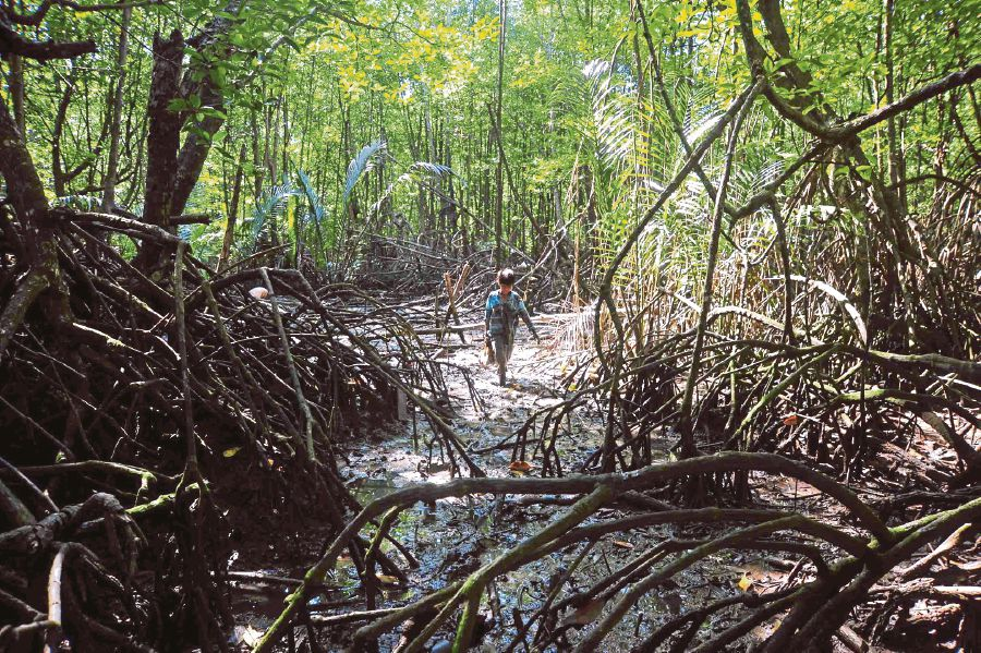 (File pix) Mangrove forests provide multiple ecosystem services and benefits to humans and nature. Their full functions and roles are still way beyond our understanding.