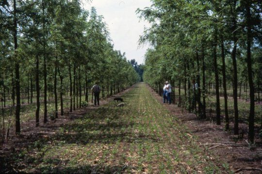 Agroforestry, on average, stores markedly more carbon than agriculture, researchers found. Here, alley cropping walnut and soybeans is shown in Missouri. In the United States, agroforestry is lauded for its environmental benefits; in the tropics its economic benefits are seen as in dispensable. Credit: USDA National Agroforestry Center
