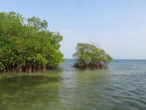 Mangroves like this could have a significant role in the future by mitigating the carbon emissions of certain nations. Credit: Pierre Taillardat