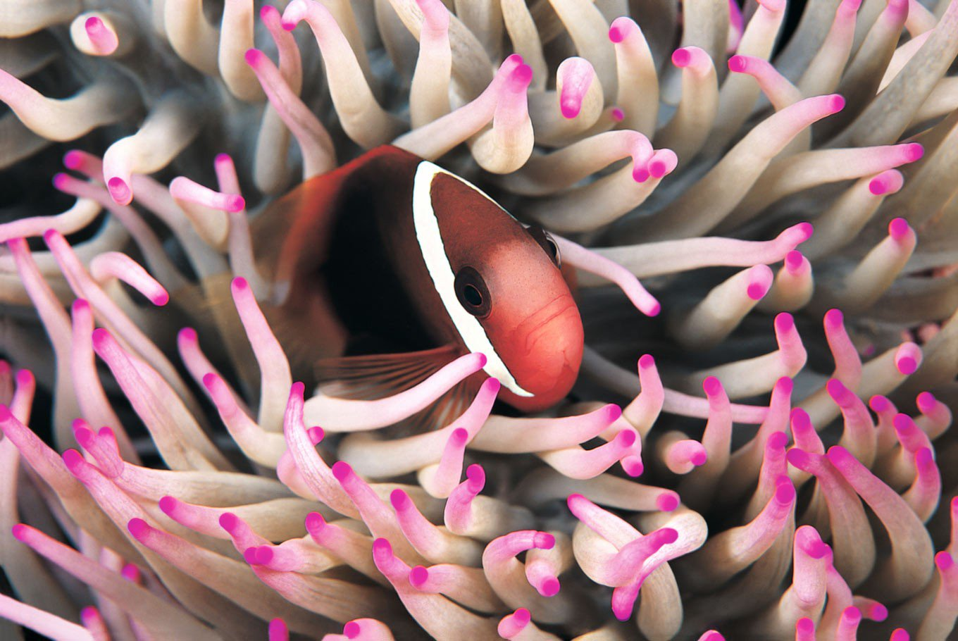 Fire clownfish hiding in anemones at Wakatobi. (Shutterstock/File)