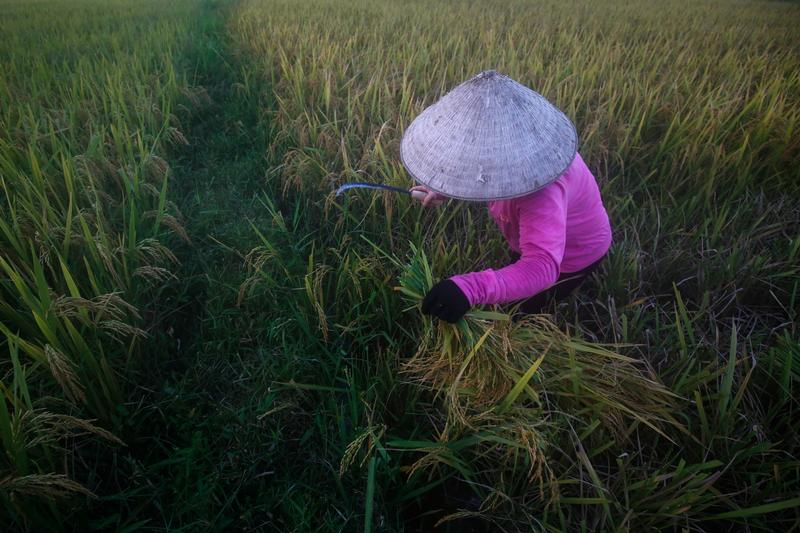 A farmer harvests rice on a rice paddy field outside Hanoi, Vietnam, June 7, 2018 Reuters
