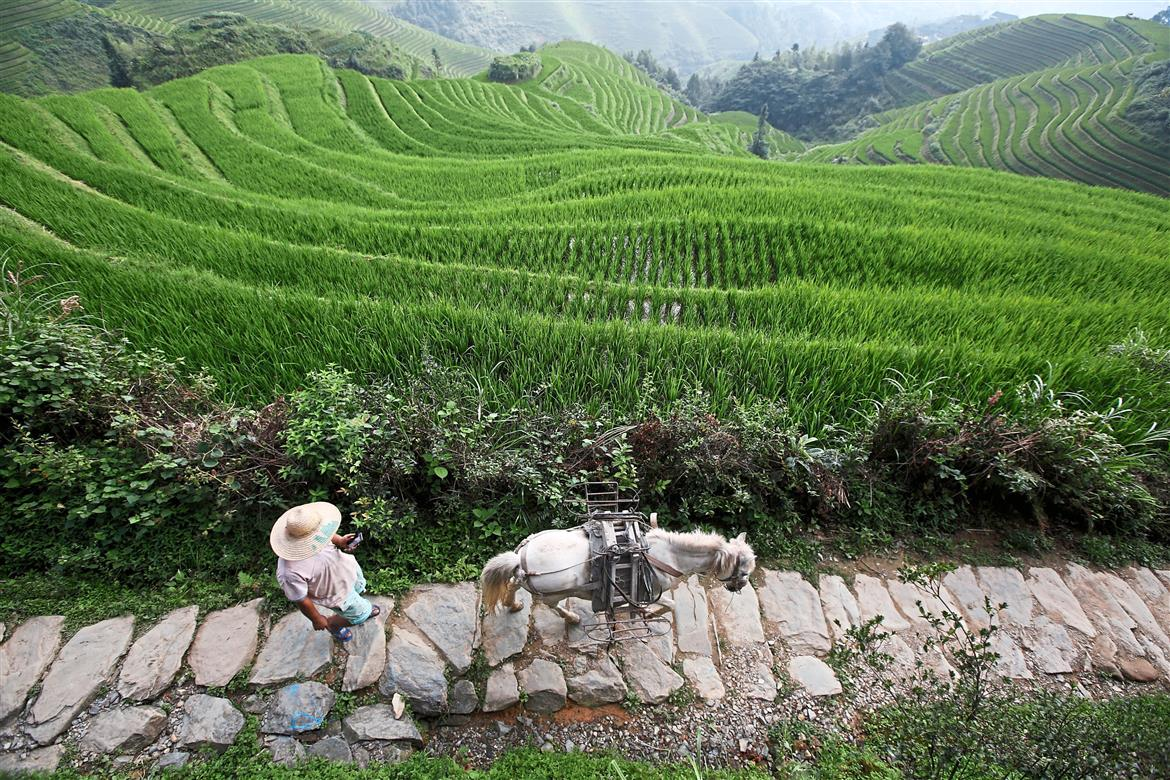 A man checking his mobile phone while making his way with his pony through rice terraces in Guangxi province. In China, ancient agricultural practises are being boosted by modern technology. Photo: Bloomberg