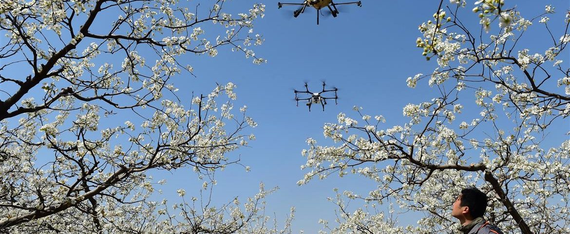 Drones are being used to pollinate pear blossoms on a farm in Cangzhou, Hebei province. Photo: Reuters
