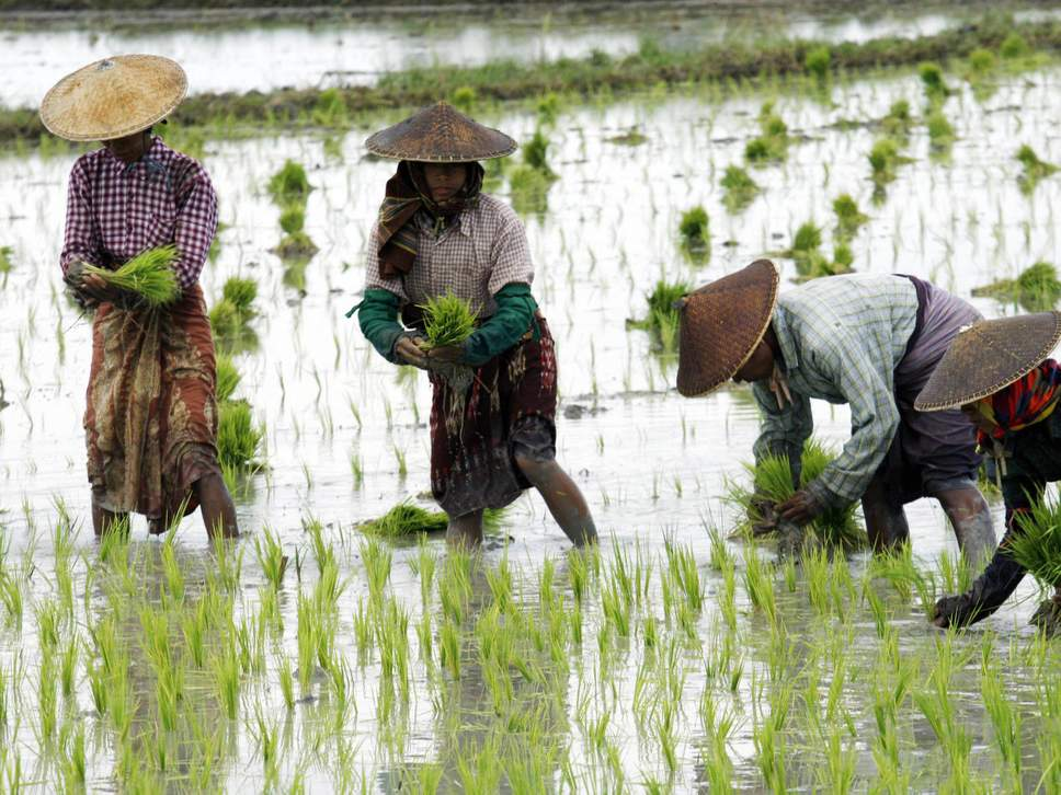Rice is a vital crop that provides people with more calories in total than any other food ( STR/AFP/Getty Images )