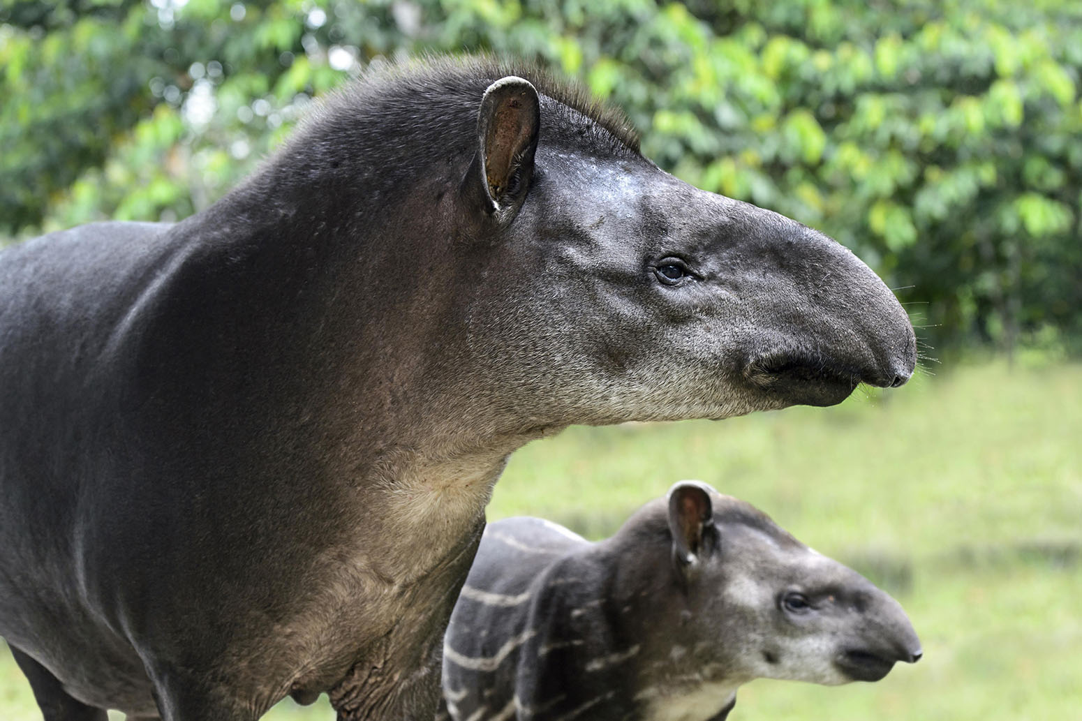 10 Feb 2015, Yasuni National Park, Ecuador. South American tapir (Tapirus terrestris), female with young, tapir family (Tapiridae), Amazon rainforest, Yasuni National Park, Ecuador, South America. © Guenter Fischer/imageBROKER/Corbis