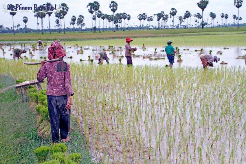 Farmers work in a field to plant rice crops in Kampong Cham in 2013. Yesterday a USAID-financed project was launched with the aim to encourage small farmers to adopt more resilient rice varieties. Hong Menea