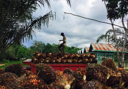 A worker in East Kalimantan, Indonesia, loads palm fruit into a truck for transport to a factory that will process it into palm oil -- an ingredient in a wide range of consumer products. Credit: Joann de Zegher / Stanford University