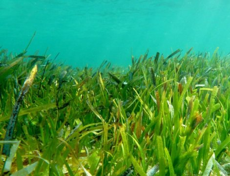 Seagrass meadows in the vast Indonesian archipelago. Credit: Dr. Richard Unsworth