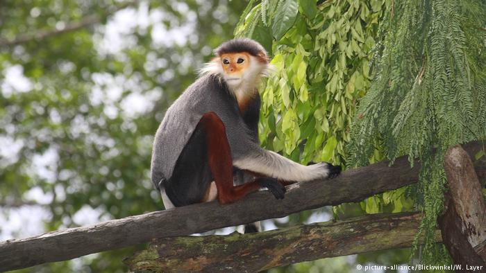 The rare duoc monkey is among the species under threat as Cambodia's forests get felled for profit