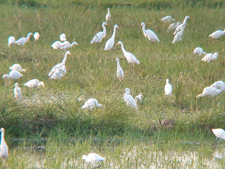 White egrets at the Candaba Swamp
