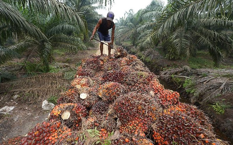 EU should reconsider the proposal to ban the use of Malaysian palm oil-based biofuel so that it does not affect the livelihood of small farmers. (AFP pic)