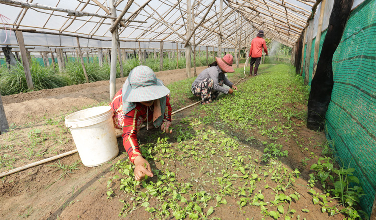 Farmers growing lettuce in a greenhouse in Cambodia for a green economy, including the expansion of climate-smart agriculture. (Photo by: Khmer Times)