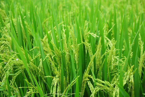 Weather-Resistant Rice