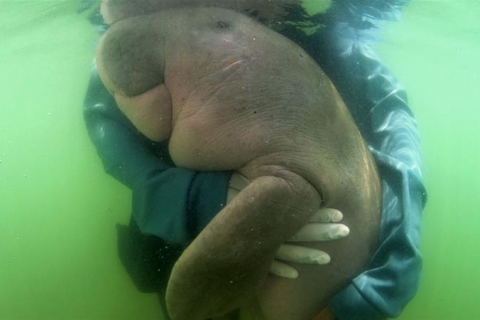 Beloved Thai baby dugong dies with plastic in stomach